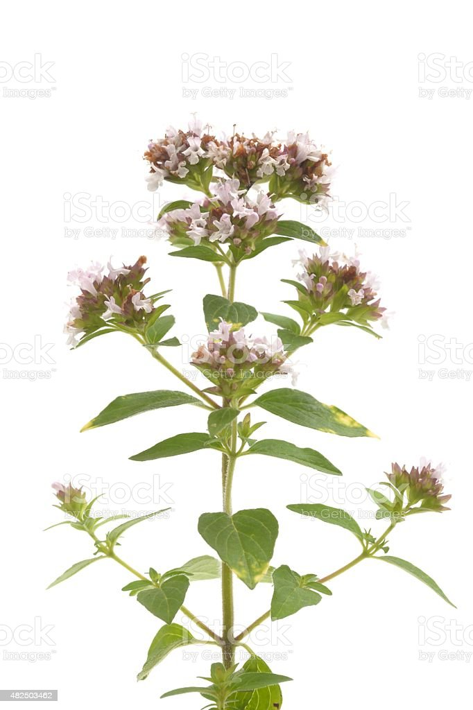 Gold tipped marjoram stock photo