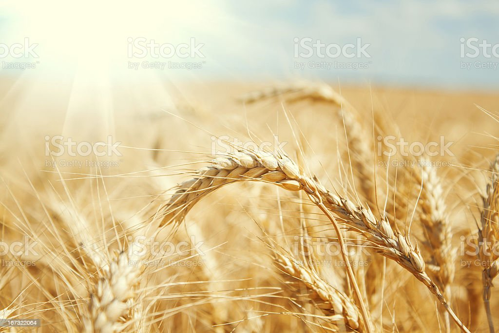 Gold wheat field and blue sky royalty-free stock photo