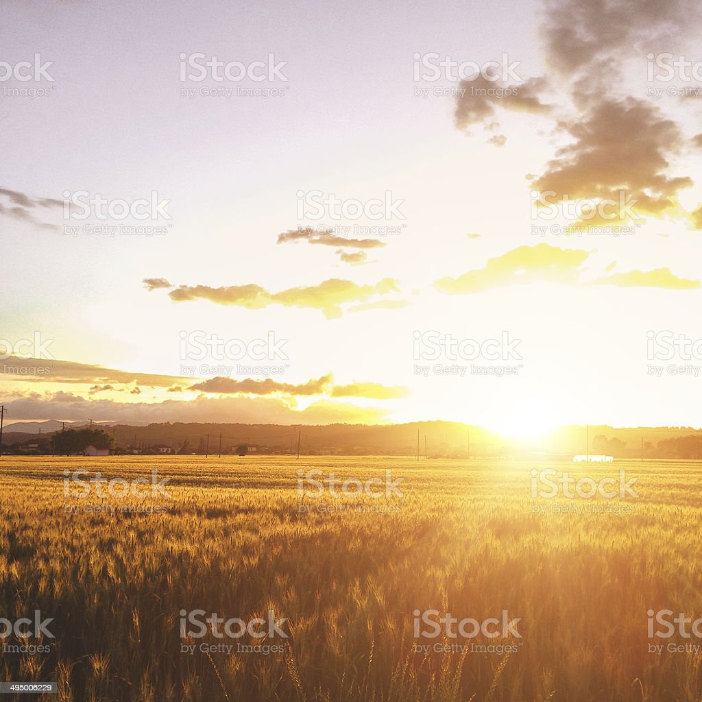gold wheat field landscape stock photo