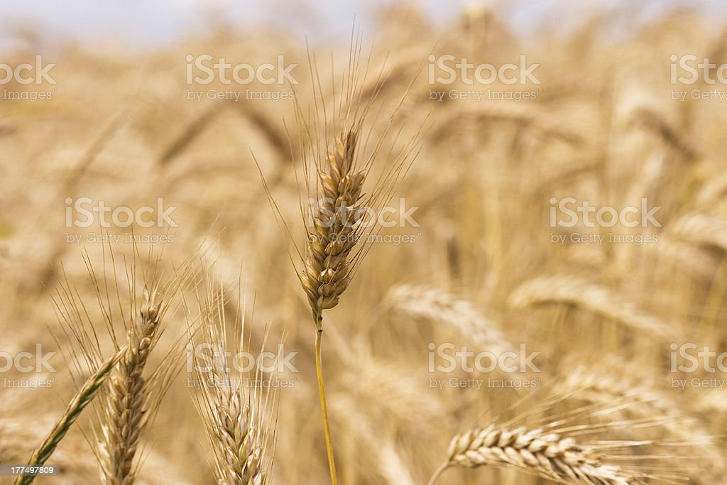 Gold wheat royalty-free stock photo