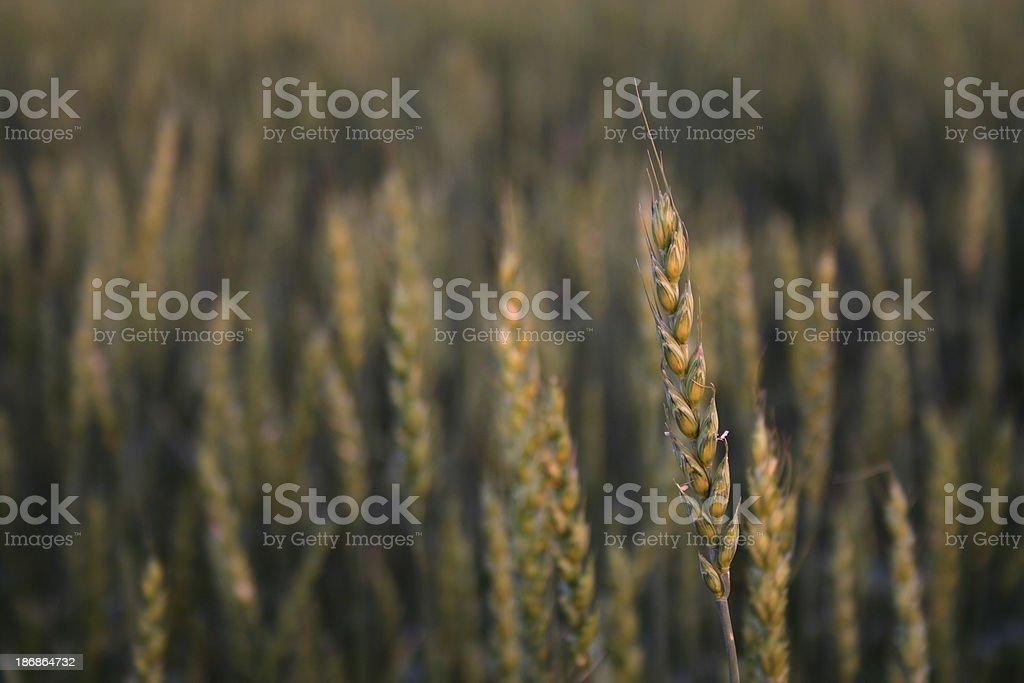 Gold Wheat stock photo