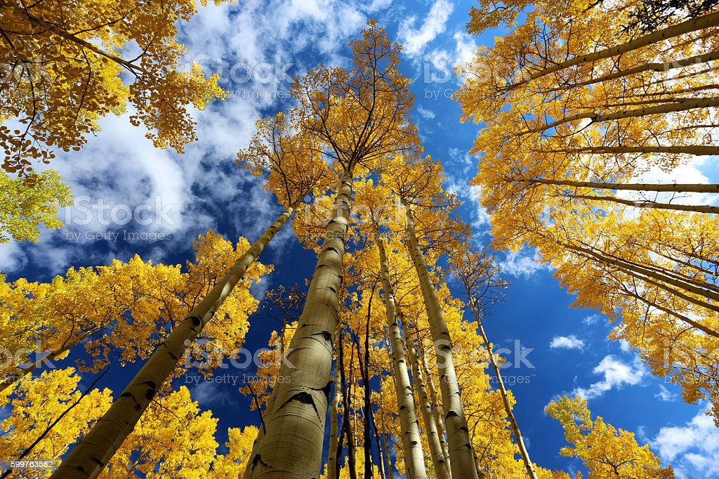 Gold yellow aspen forest in autumn with blue sky stock photo