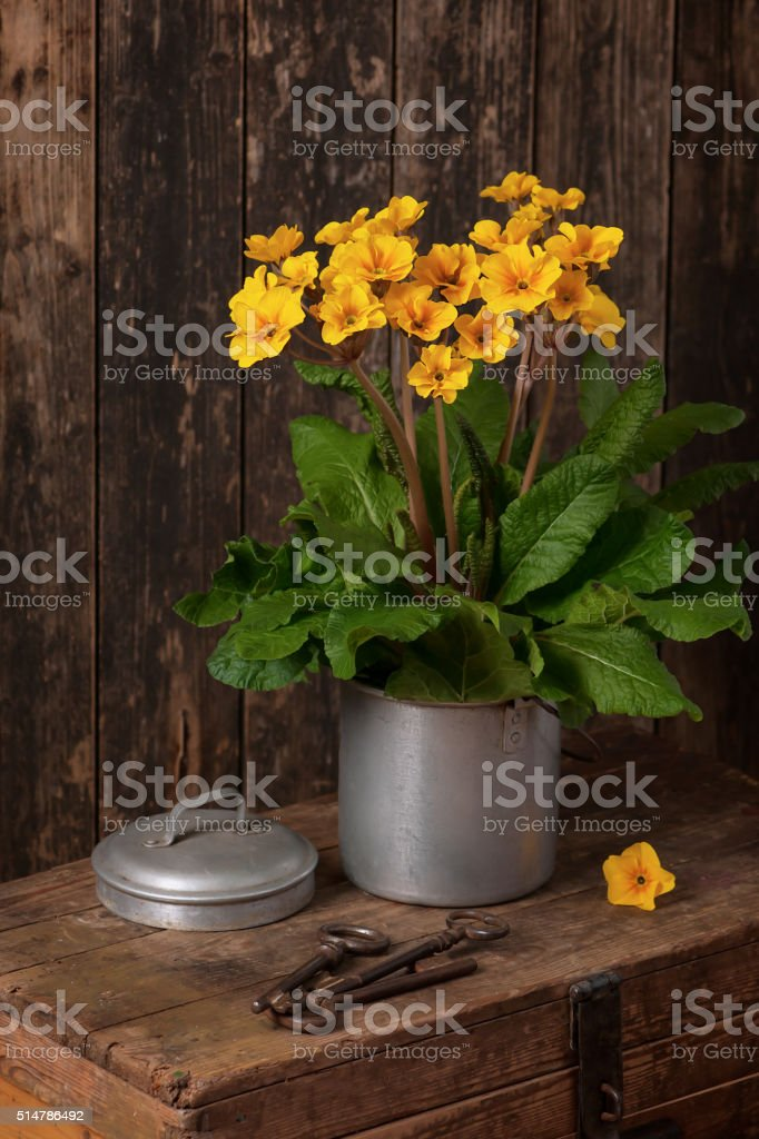 Gold, yellow oxlip, in in an old aluminum pot. stock photo