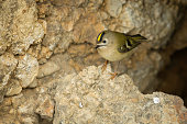 Goldcrest on a rock on top of cliffs.