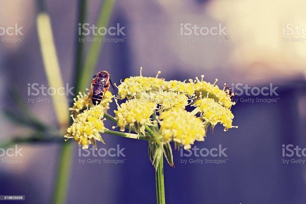 Golden alexanders stock photo