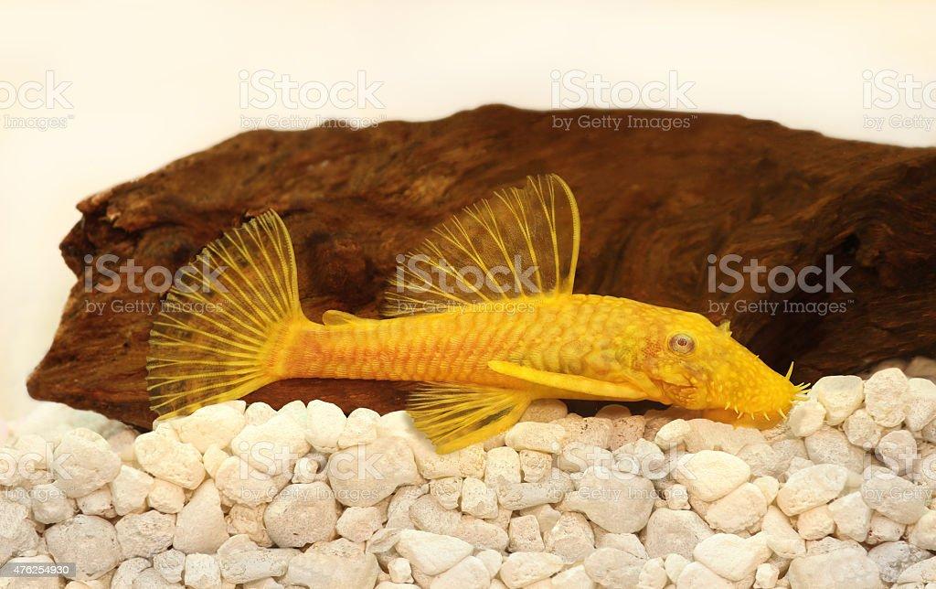 Golden Ancistrus pleco catfish Bristle-nose tropical freshwater aquarium fish stock photo