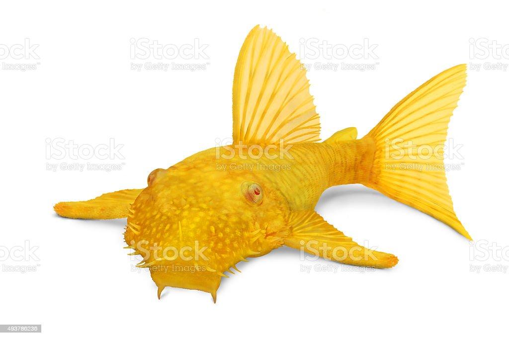 Golden Ancistrus pleco catfish Male albino bristlenose aquarium fish stock photo