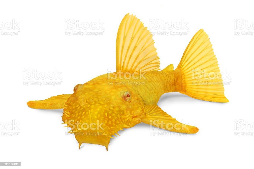 Golden Ancistrus pleco catfish Male albino Bristle-nose stock photo