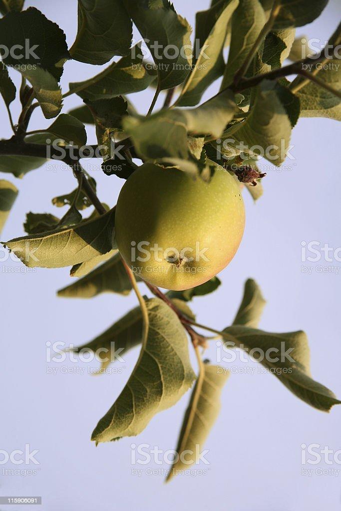 Golden apple on the tree stock photo