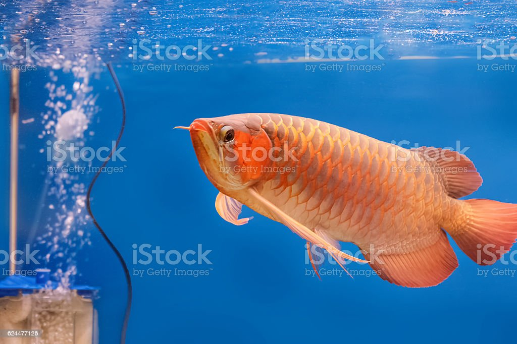 Golden arowana swims in a fish tank. stock photo