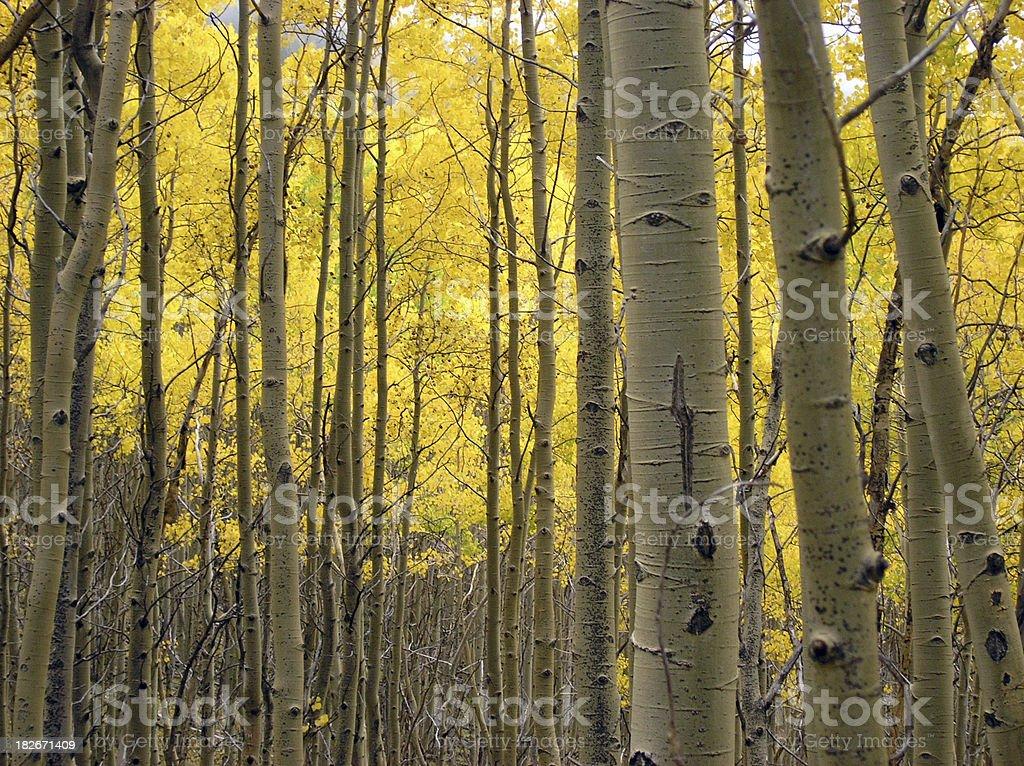 Golden aspen light royalty-free stock photo