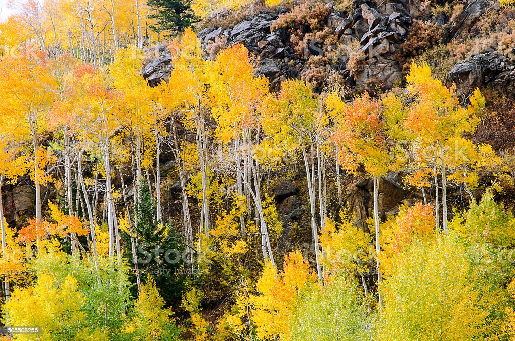 Golden Aspens in the Colorado Rocky Mountains stock photo