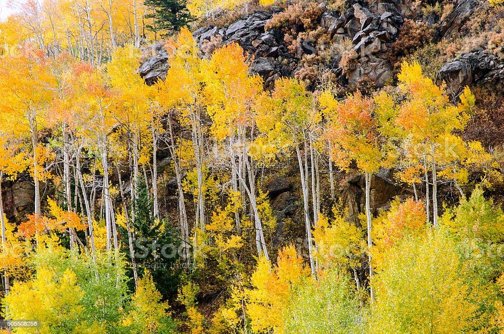 Golden Aspens in the Colorado Rocky Mountains stock photo
