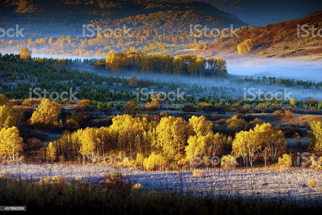 golden aspens royalty-free stock photo