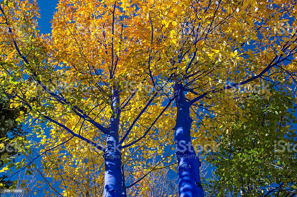 Golden Aspens with Painted Blue Tree Trunks stock photo