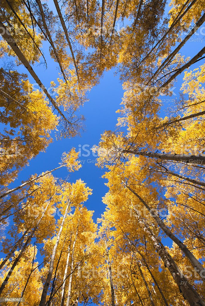 golden autumn aspen canopy stock photo