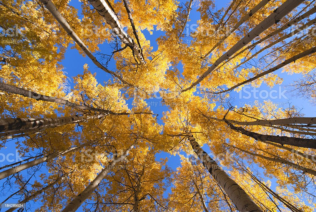 golden autumn aspen canopy royalty-free stock photo