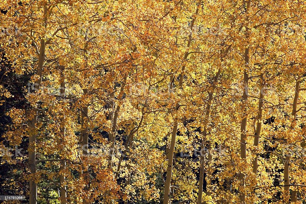 golden autumn aspens royalty-free stock photo
