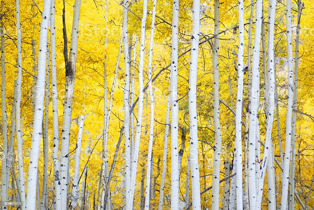 golden autumn aspens stock photo