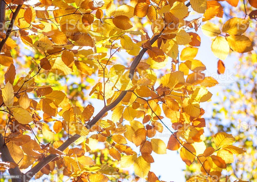 Golden Autumn Foliage beech stock photo