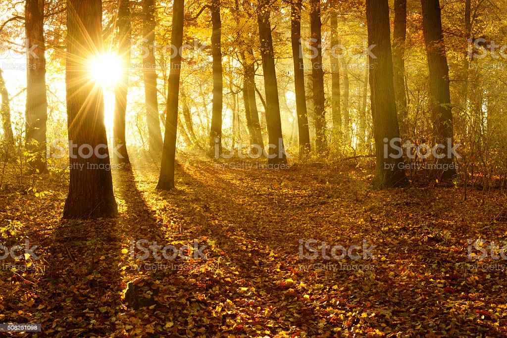 Golden Autumn Forest Illuminated by Sunbeams through Fog at Sunrise stock photo
