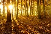 Golden Autumn Forest Illuminated by Sunbeams through Fog at Sunrise