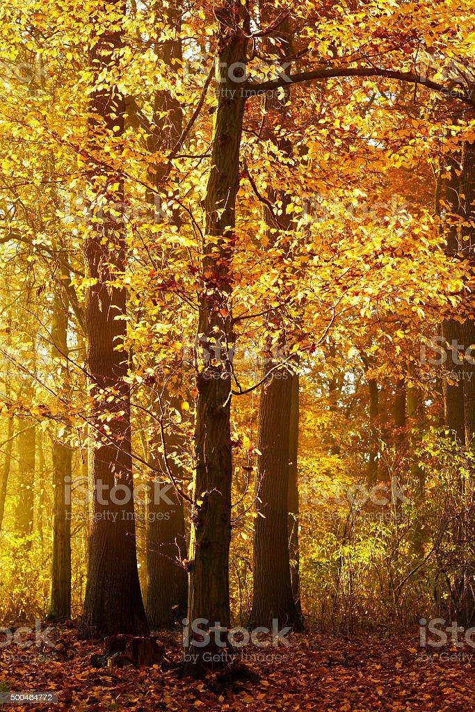 Golden Autumn Forest Illuminated by Warm Light of Sunrise stock photo