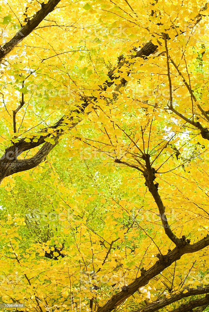 Golden autumn Gingko leaves stock photo