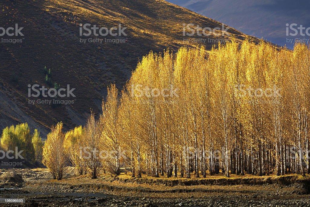 Golden Autumn of Dao Cheng, Mainland China stock photo