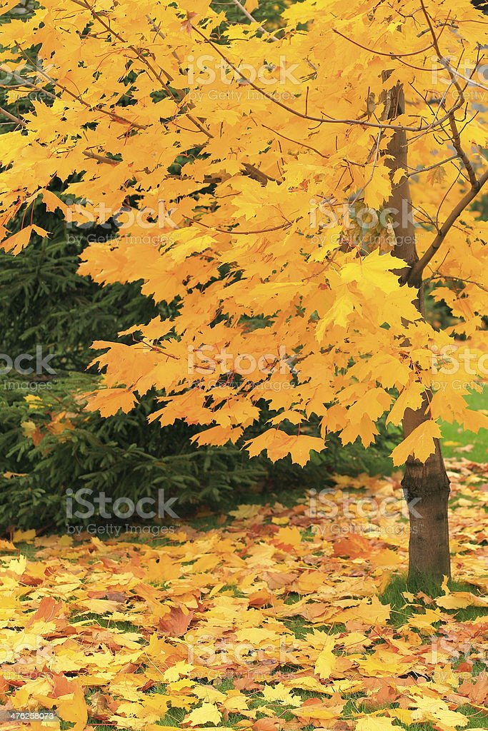 Golden Autumn tree and foliage at ground in Moscow, Russia royalty-free stock photo
