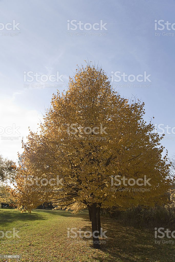 Golden autumn trees in a row Montreal royalty-free stock photo