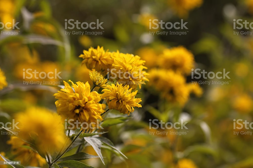 Golden ball. Rudbeckia laciniata. Flower. stock photo