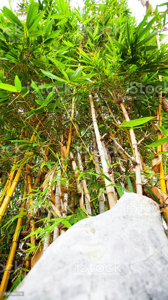 Golden bamboo behind rock stock photo