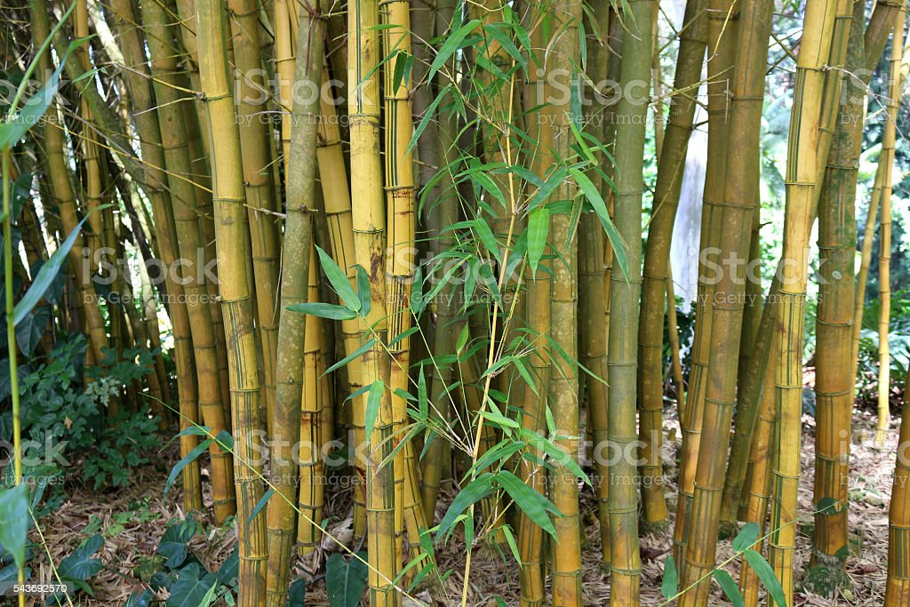 Golden Bamboo in Hawaii stock photo
