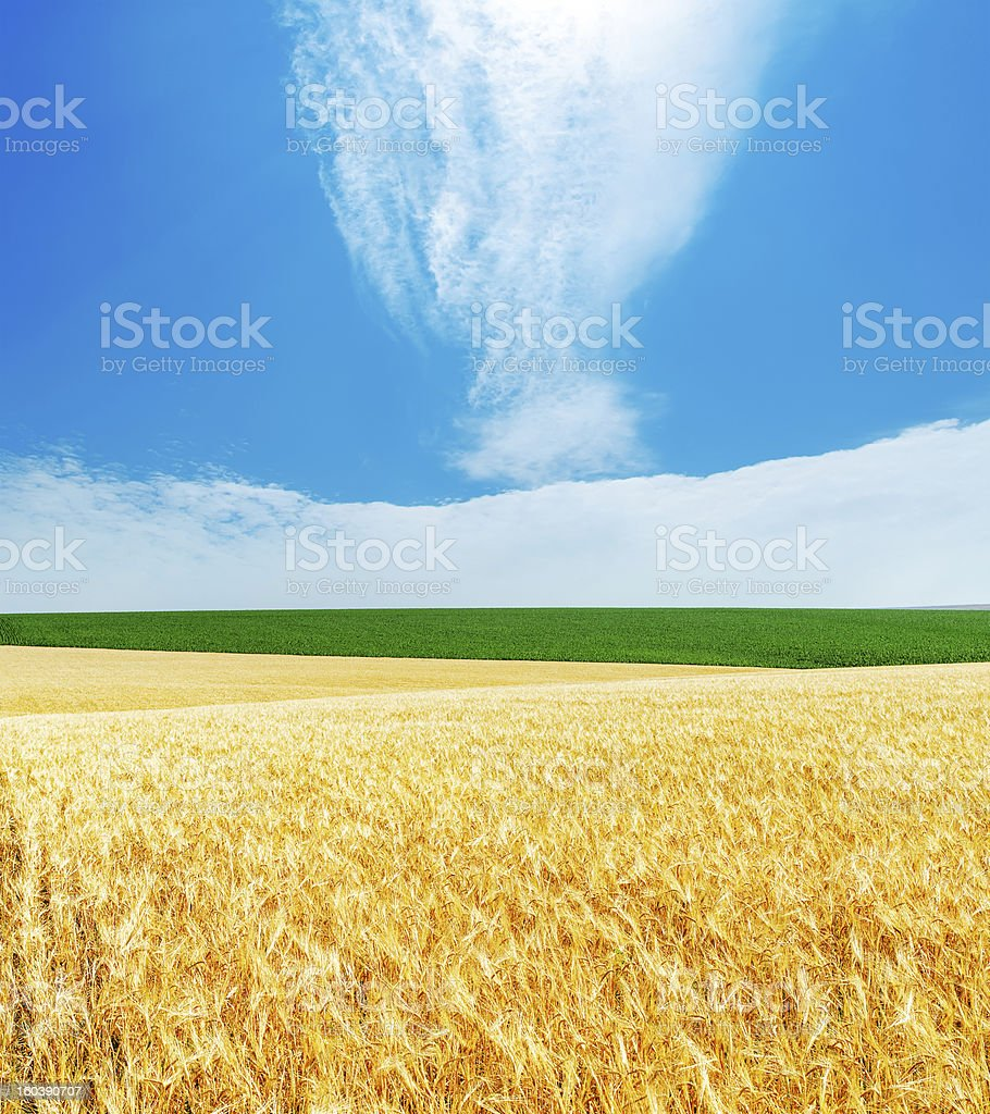 golden barley and blue cloudy sky royalty-free stock photo