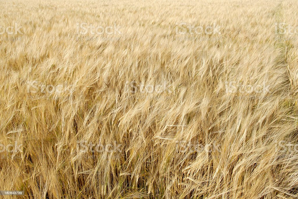 Golden Barley Background stock photo