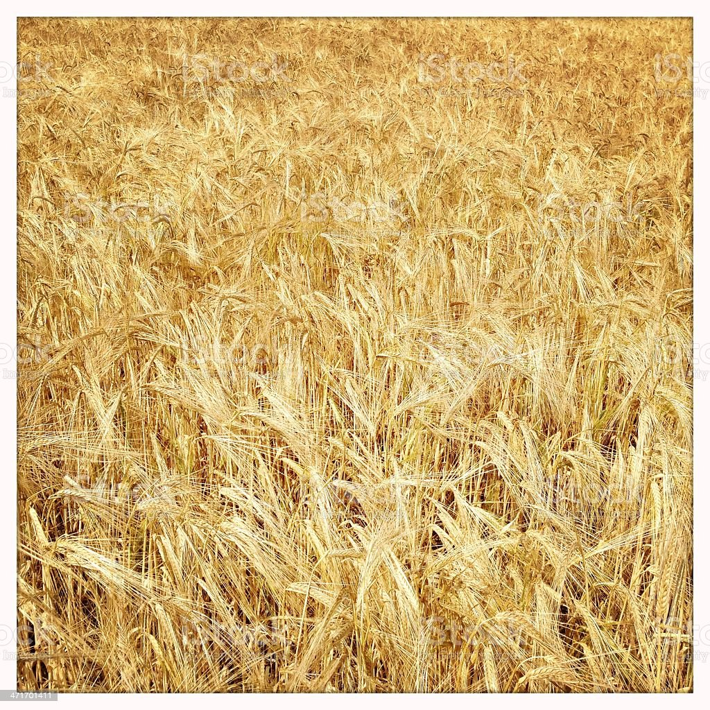 Golden Barley Background royalty-free stock photo