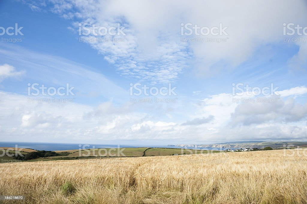 Golden barley crop ready for harvest royalty-free stock photo