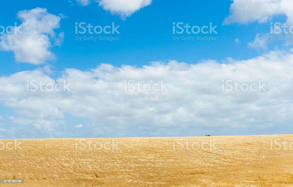 Golden barley crop Rural land Manawatu -Wanganui near Bulls stock photo