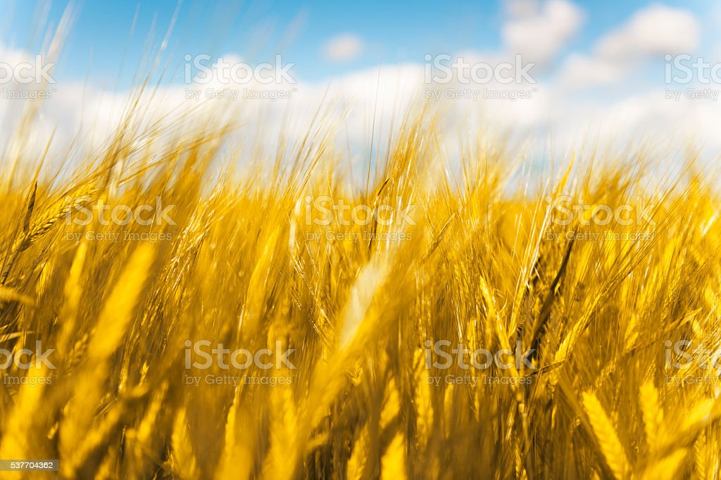 Golden Barley (Cereal Plant) Field Close-Up stock photo