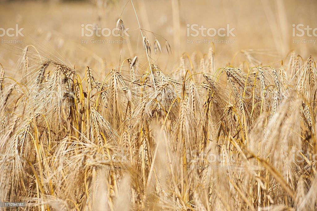 Golden Barley field royalty-free stock photo