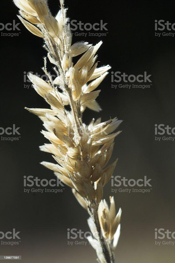 Golden barley II royalty-free stock photo