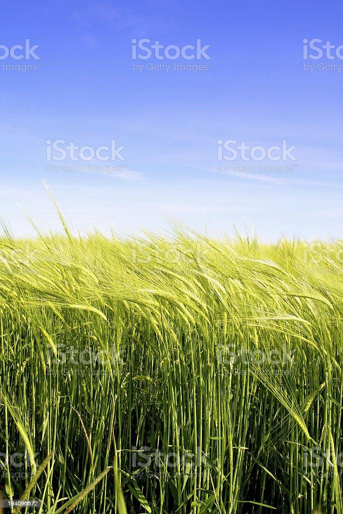Golden Barley royalty-free stock photo
