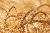 Golden barley