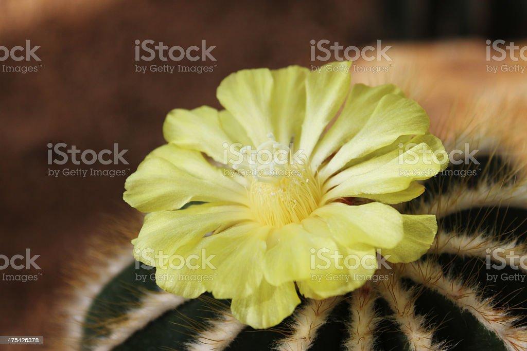 Golden Barrel Cactus Flower stock photo