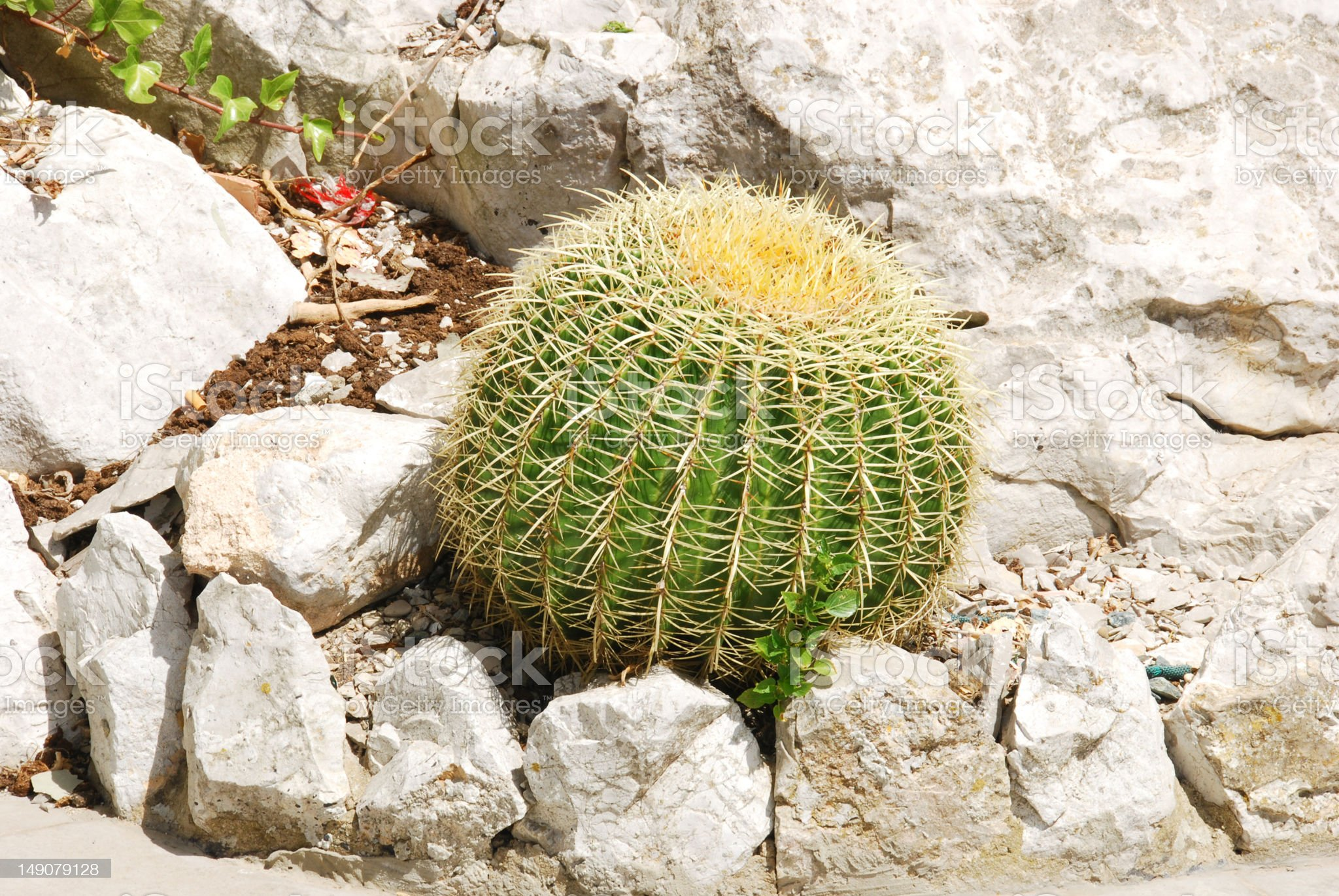 Golden Barrel Cactus Growing Against The Heat royalty-free stock photo