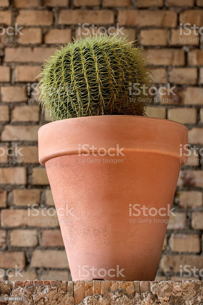 Golden barrel cactus in a clay pot stock photo