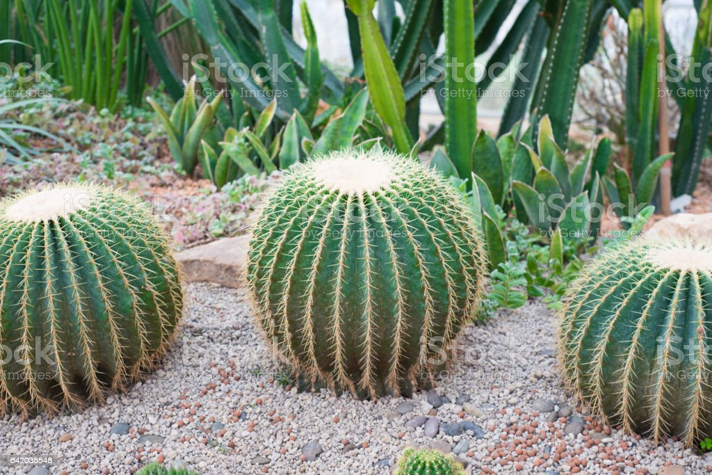Golden Barrel Cactus or Echinocactus grusoni stock photo