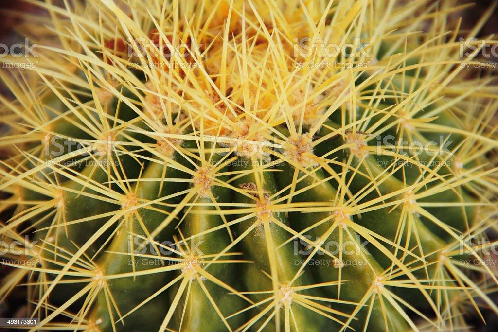 Golden Barrel Cactus Plant Close Up royalty-free stock photo