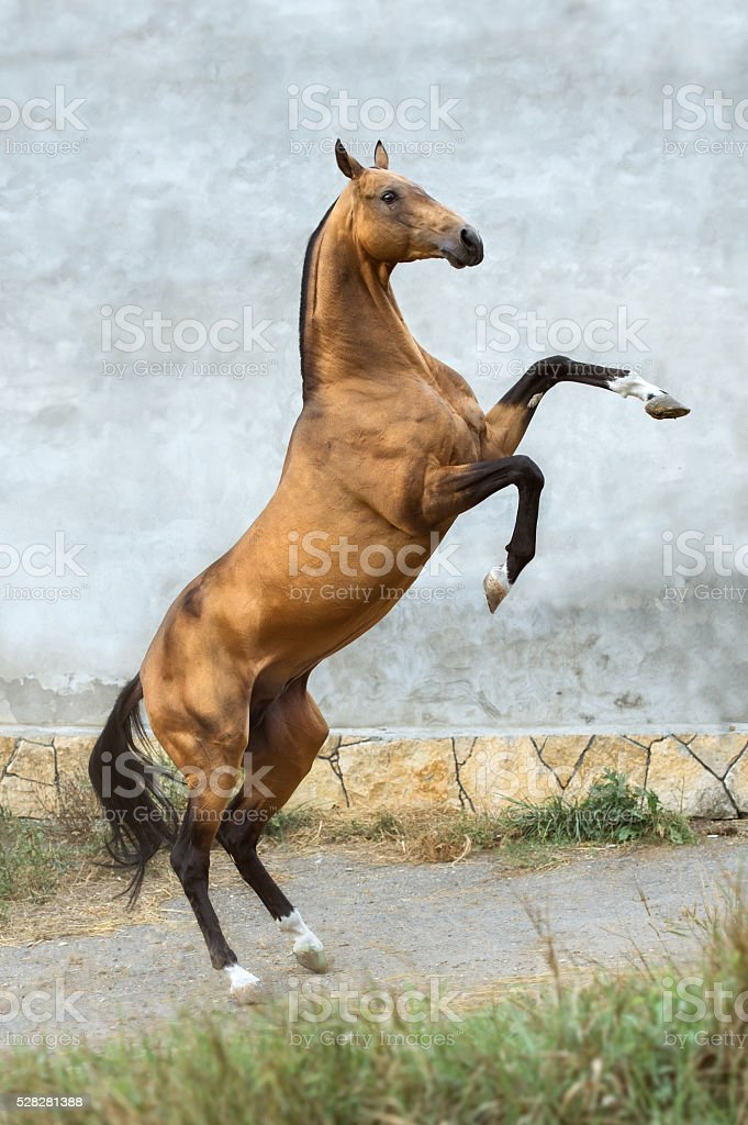 Golden bay akhal-teke horse rearing up on the wall background stock photo